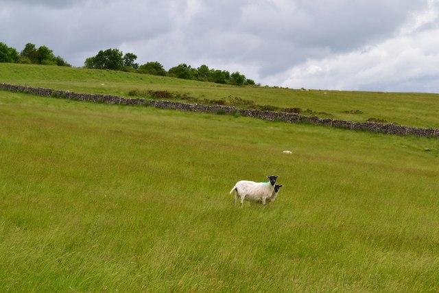 Sheep pasture near Longstone Moor Farm