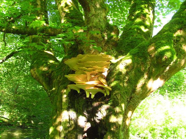 Bracket fungus on sycamore