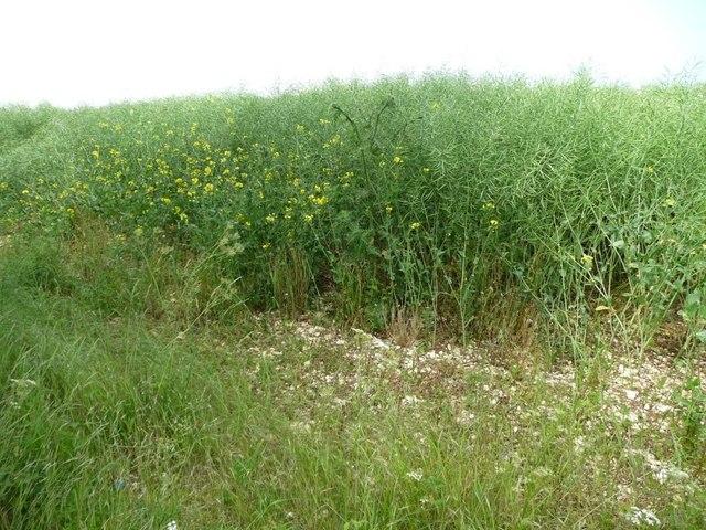 A tall oilseed rape crop, south of The Sheepwalks
