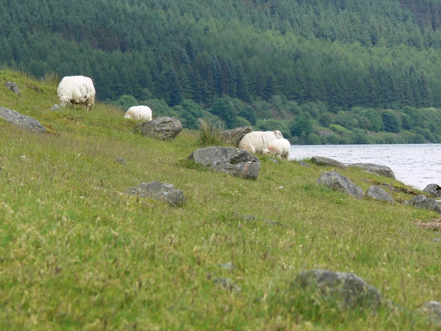 Sheep on the shore of Llyn Celyn