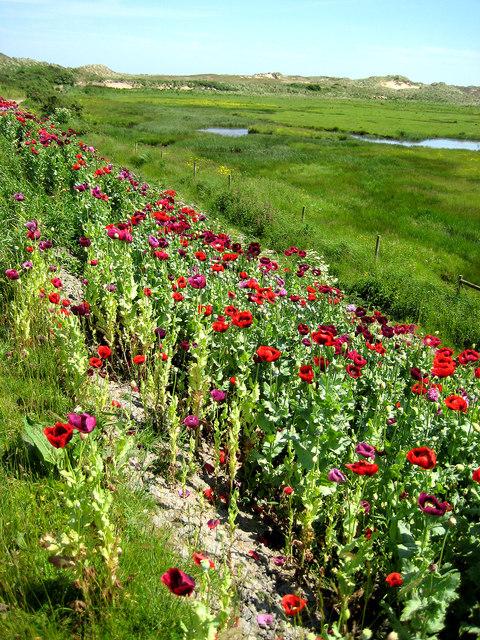 A surprising abundance of opium poppies