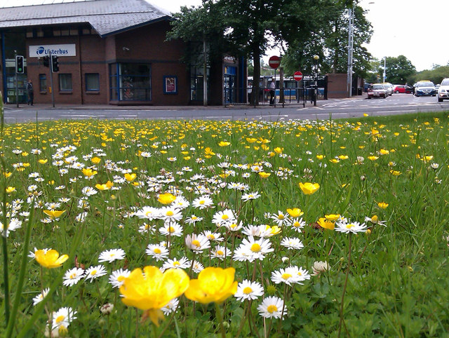 Buttercups and daisies, Omagh