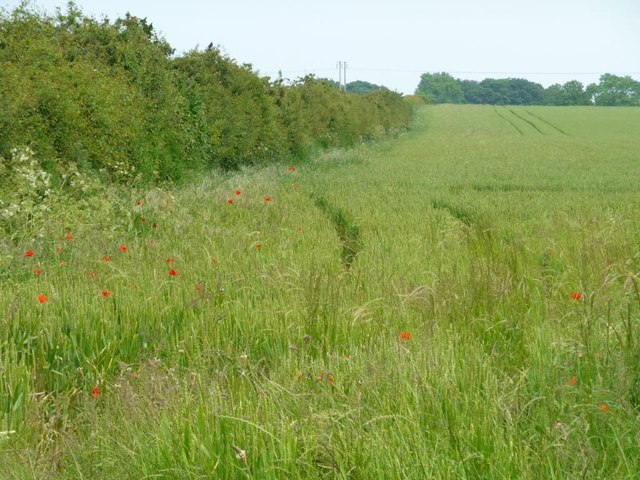 Poppies at the edge of a wheat field