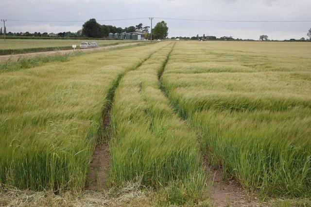 Barley field near Tattershall