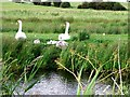 TQ6208 : Swans and cygnets, Pevensey Levels by nick macneill