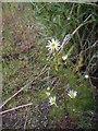NJ8207 : A summer wildflower by Stanley Howe