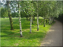 TQ3187 : Line of birch trees in Finsbury Park by David Howard