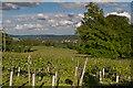 TQ1550 : Denbies Vineyard by Ian Capper