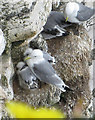 TA1974 : Kittiwakes with chicks at Bempton Cliffs by Pauline E