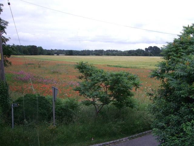 Poppy field, Tubney