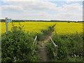 TL6956 : Footpath through Oil Seed Rape by Hugh Venables