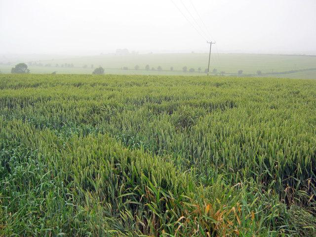 Wheat crop near Egmanton Hill Farm