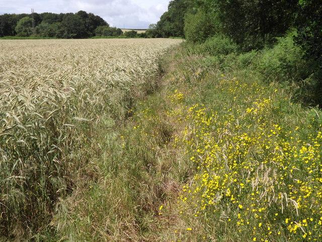Barley Field, Wyke