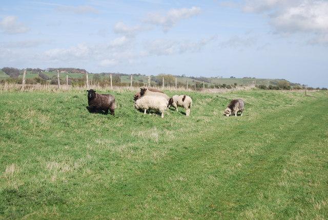 Sheep, Sussex Border Path