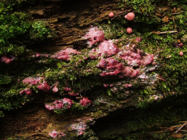 A slime mould - Lycogala epidendrum (undeveloped)