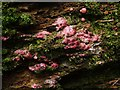 NS3977 : A slime mould - Lycogala epidendrum (undeveloped) by Lairich Rig