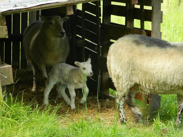 Late season lamb