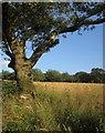 SX8854 : Oak and barley, Higher Greenway by Derek Harper