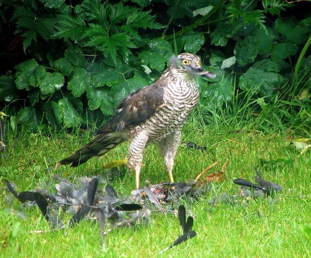 Mr Sparrowhawk