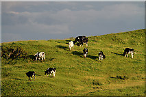 NT6334 : Cattle on Lady Hill by Walter Baxter