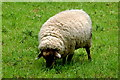 R4560 : Bunratty Park - Sheep Grazing between Sites #3&5 by Joseph Mischyshyn