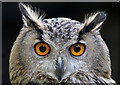 NT4936 : Holly the Eurasian Eagle Owl (Bubo bubo) by Walter Baxter