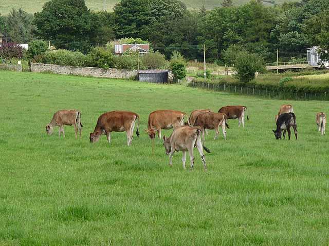 Jersey calves at Wheelbirks Farm