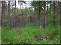 NH2812 : Coniferous plantation by James Allan