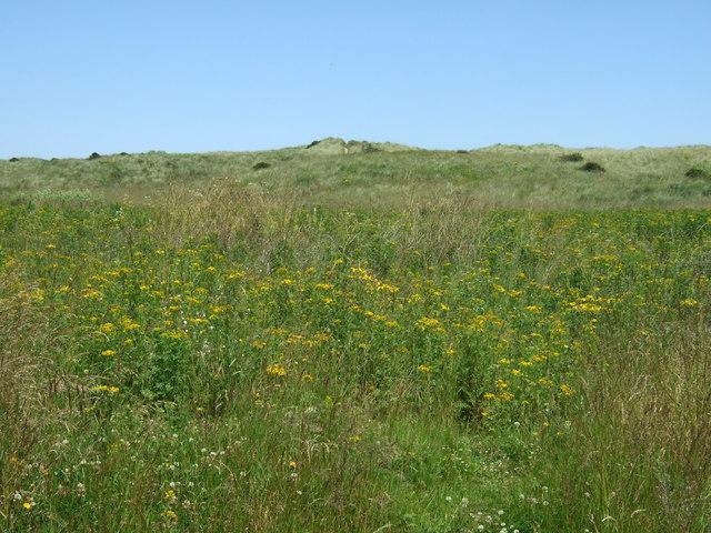 Wild flowers and dunes, Druridge Links