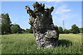 TL3362 : Ancient gnarled tree stump by Rob Noble