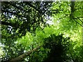 SP9310 : Canopy in Tring Park Wood by Rob Farrow