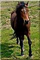 Q8558 : Loop Head Peninsula - Running Brown Horse by Joseph Mischyshyn