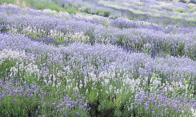 Swathes of lavender