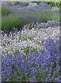 SE6670 : Lavender species by Pauline E
