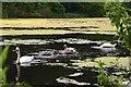 NT5682 : Swan family on Balgone Loch by Jim Barton