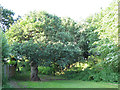 SJ7661 : Old oak behind the Parkhouse estate by Stephen Craven