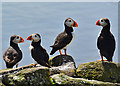 NT6698 : Puffins at the south end of the Isle of May by John Allan