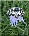 TQ1350 : Marbled White butterfly (Melanargia galathea), on scabious at Ranmore (2) by Stefan Czapski