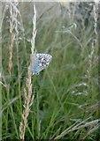 TQ1350 : Blue butterfly at Ranmore (2) by Stefan Czapski