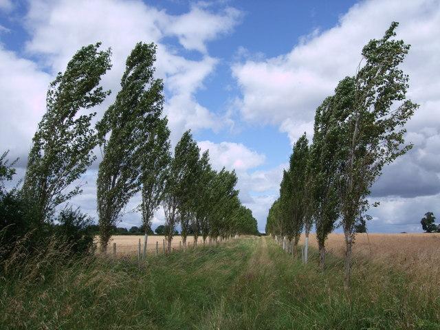 Avenue of poplars, D'Arcy Dalton Way, near Watchfield