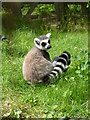 SO9490 : Dudley Zoo - ring tailed lemur by Chris Allen