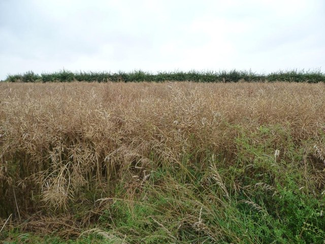 Oil seed rape crop, south of Common Road