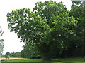 NO3846 : Sweet chestnut at Glamis by M J Richardson