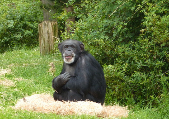 Common chimpanzee at Chester Zoo