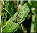 J4583 : Grasshopper, Helen's Bay by Rossographer