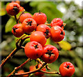 J4682 : Rowan berries, Crawfordsburn by Albert Bridge