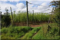 SO6544 : Hop field near Millend Farm by Philip Halling