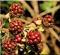 J2865 : Blackberries, Hilden by Albert Bridge