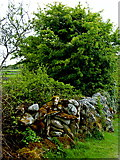 M2300 : The Burren - R480 - Stone Wall & Shrubbery between Two Fields by Joseph Mischyshyn