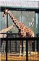 TL0017 : Giraffes at Whipsnade Zoo by Steve Daniels